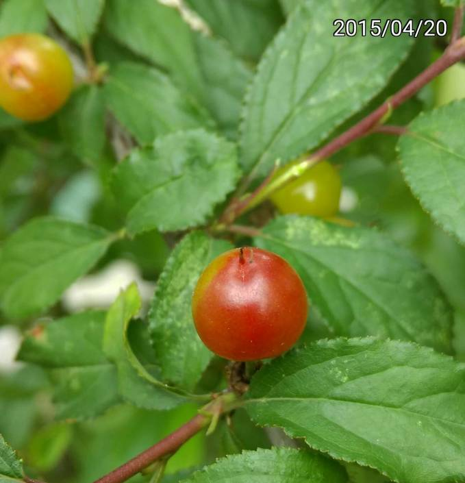 成熟的郁李的果實、ripe fruit of Japanese bush cherry, or Oriental bush cherry、Prunus japonica, Cerasus japonica